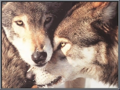 Image result for two wolves
